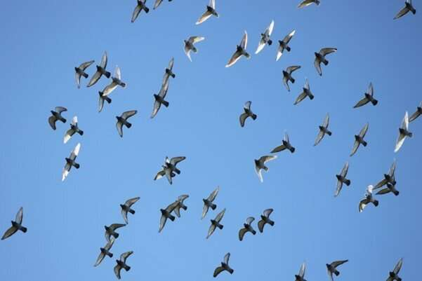 The fellowship of the wing: Pigeons flap faster to fly together