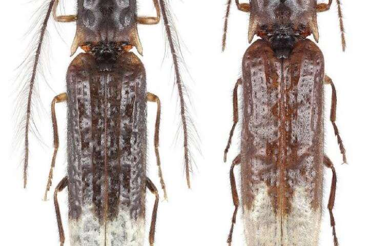 The first bioluminescent click beetle discovered in Asia represents a new subfamily