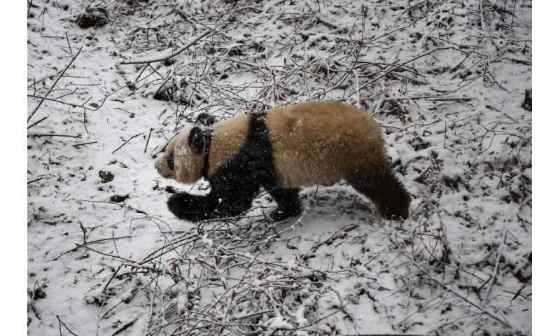 """The giant panda, native to China, was added to the IUCN's """"Red List"""" of endangered species in 2016"""