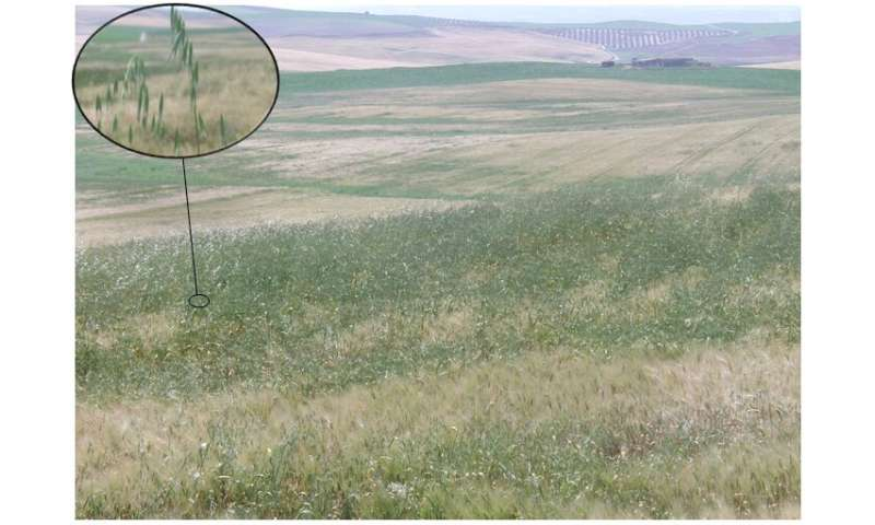 The growth of a wheat weed can be predicted to reduce the use of herbicides