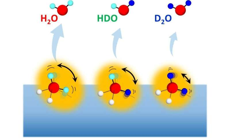 The impact of molecular rotation on a peculiar isotope effect on water hydrogen bonds