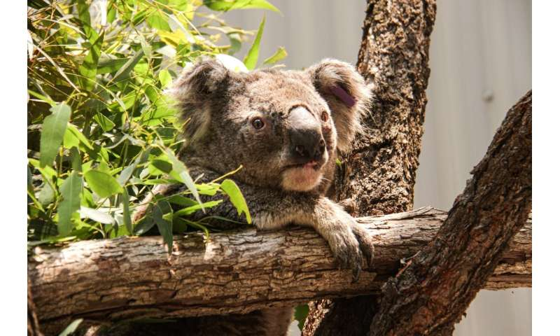 The koalas have been relocated to Sydney's Taronga Zoo until it is safe to return them back into the wild