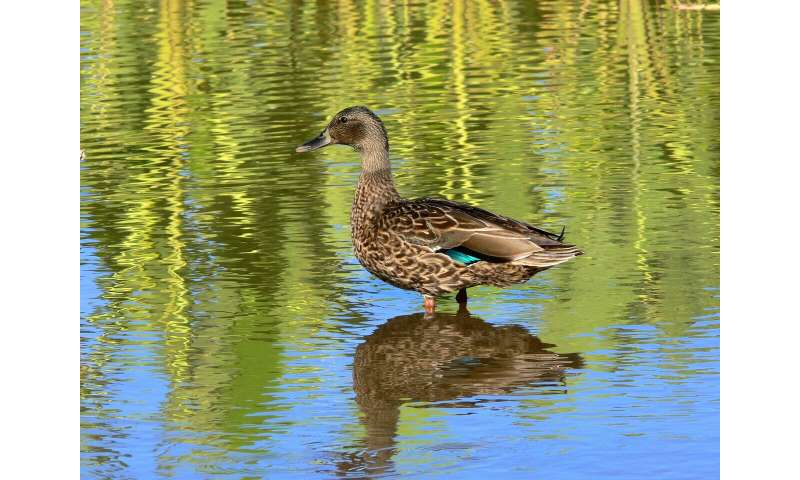 The little duck that could: Study finds endangered Hawaiian duck endures