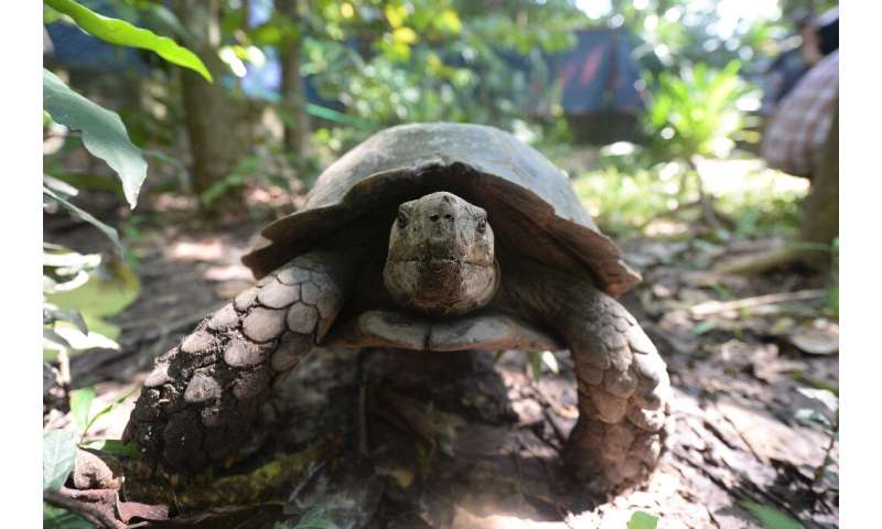 The local population of Asian Forest Tortoises was estimated at less than 50 before the recent births