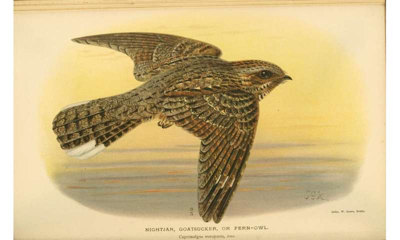 The lunar cycle drives the nightjar's migration