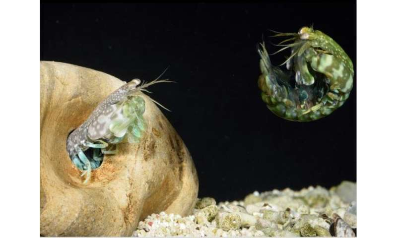 The mantis shrimp's perfect shield