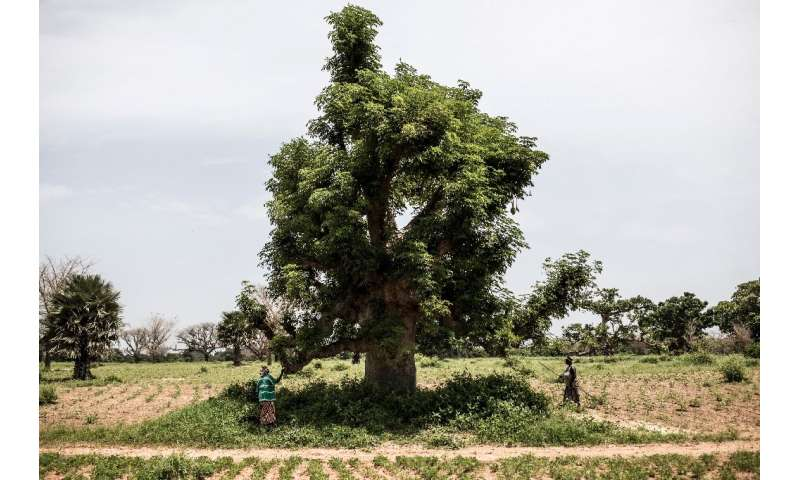 The might baobab is a national symbol of Senegal, where locals have long prized the tree's many uses