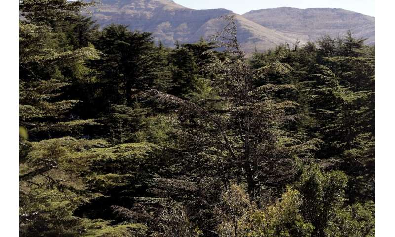 The mighty cedar trees of Lebanon are mentioned in the Bible and have clung to the mountains along the eastern Mediterranean for