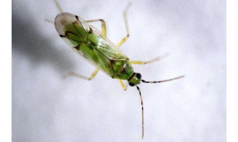 El Nesidiocoris tenuis, que se muestra aquí, es un depredador de la mosca blanca, que ataca a los pimientos.
