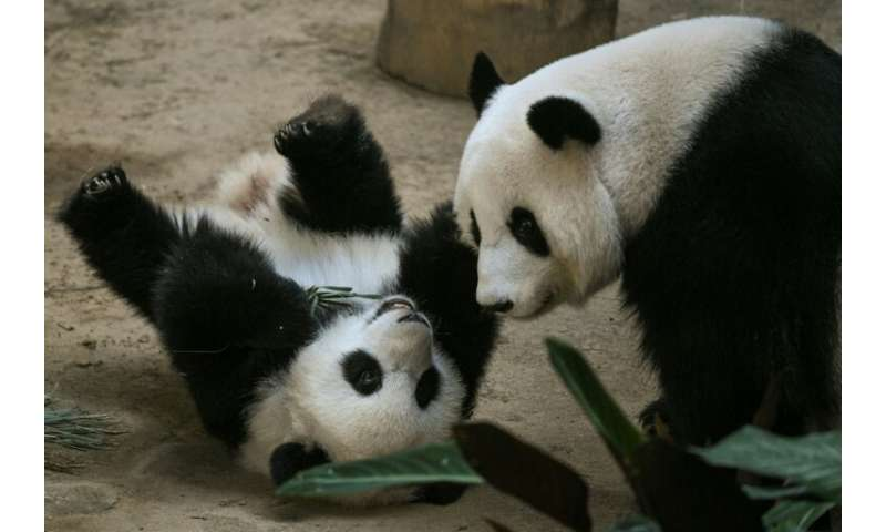 The panda is the second-born of a couple loaned by China in 2014