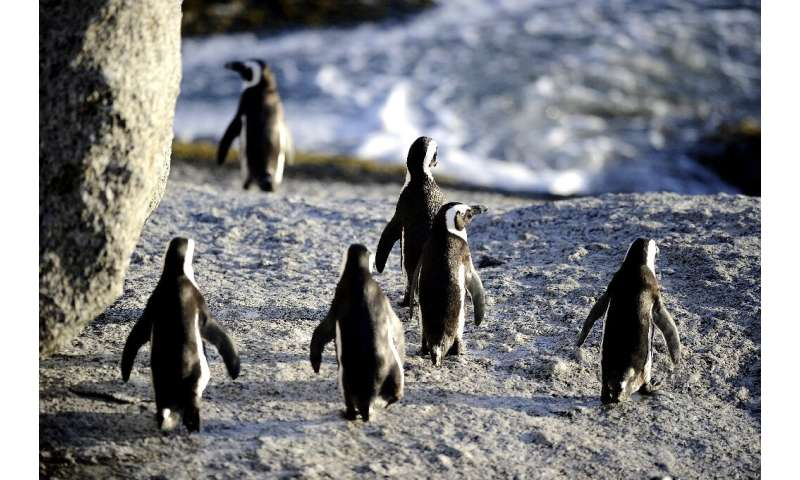 The penguins re-colonised a beach near Cape Town in the 1980s and have since become a major tourist attraction