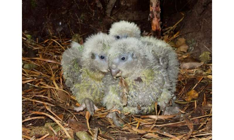 The plump parrots have produced 249 eggs this year, of which 89 have so far hatched