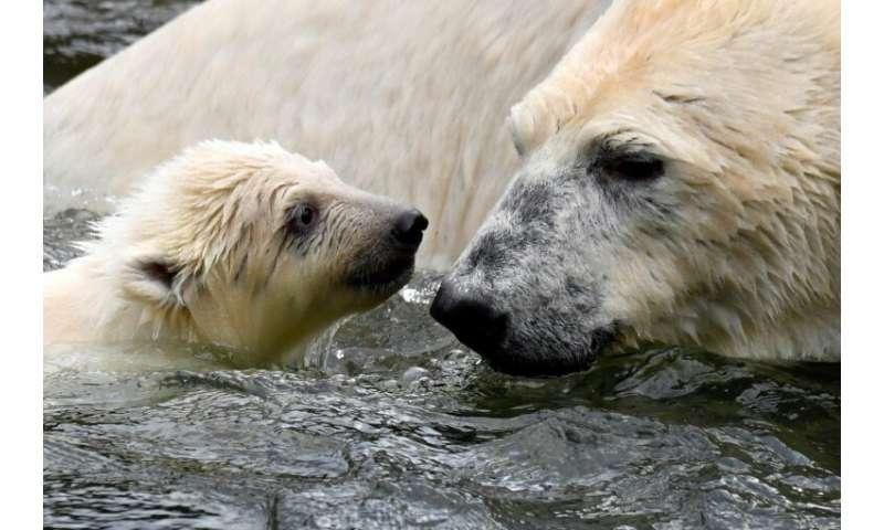 The polar bear cub was born in December