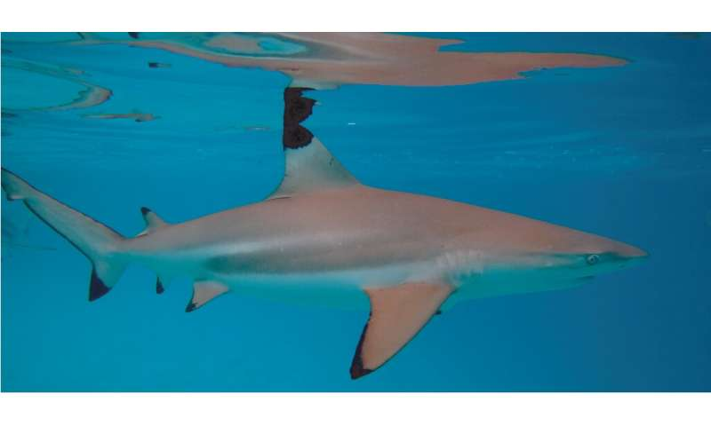 The presence of people is slowing shark recovery on the Great Barrier Reef