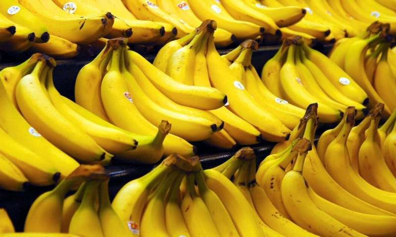The quest to save the banana from extinction