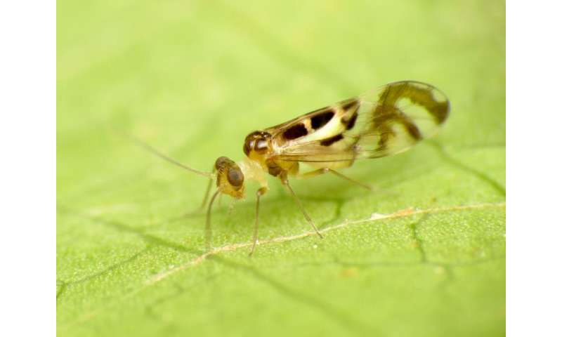 The real Tinkerbell: don't mess with these tiny fairy wasps