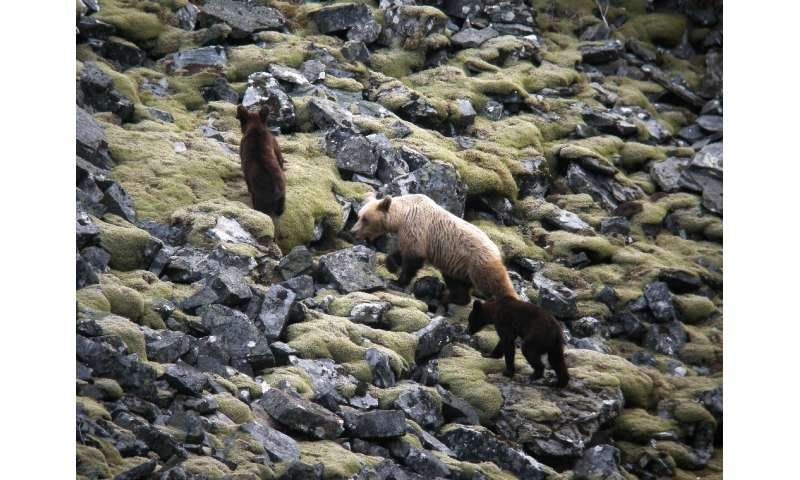 There are between 330 and 350 brown bears in the Cantabrian Mountains, including more than 40 females, one of which is seen here