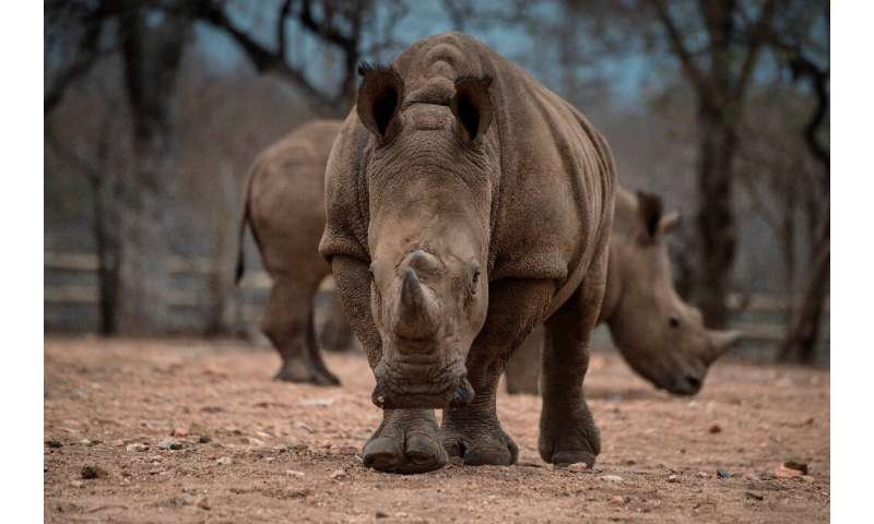 There are fewer than 25,000 rhinos left in the wild in Africa due to a surge in poaching