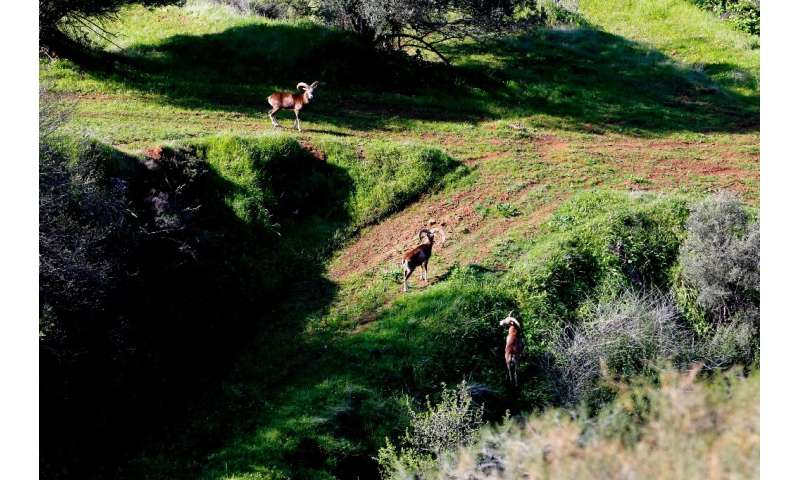 There are now around 3,000 mouflon, compared to just a few dozen in the mid-20th century