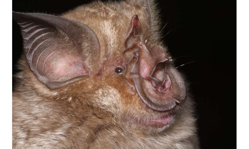 There are way more species of horseshoe bats than scientists thought