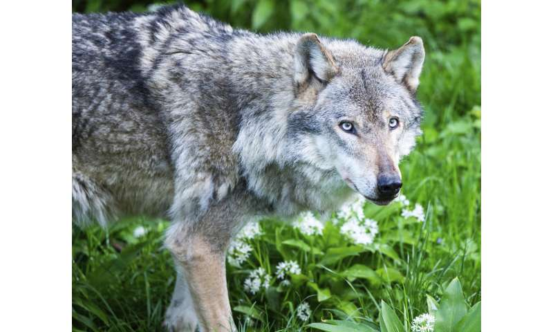 The return of the wolf: Wild cubs born in the Netherlands