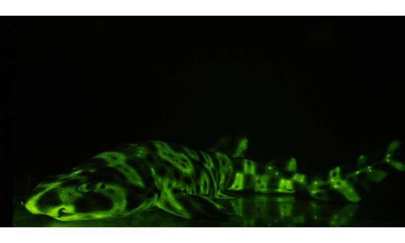These sharks use unique molecules to glow green