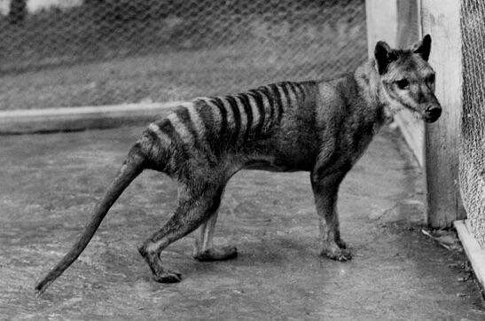 The shared evolution of the Tasmanian tiger and the wolf