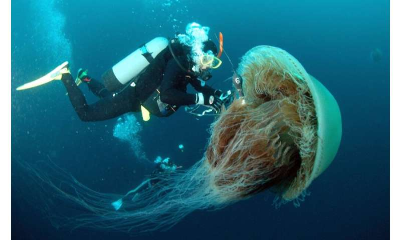 The sheer size of some jellyfish can be a threat to fishermen if they caught in their nets