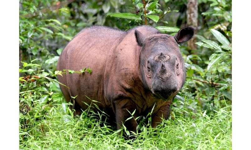 The Sumatran rhino is one of the rarest large mammals on earth