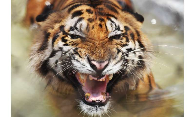 The Sundarbans is one of the world's last remaining wild habitats for the big cats