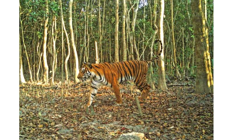 The Tiger census was conducted on 1,656 square kilometres (640 square miles) of forest in 2018 and used camera traps to count th