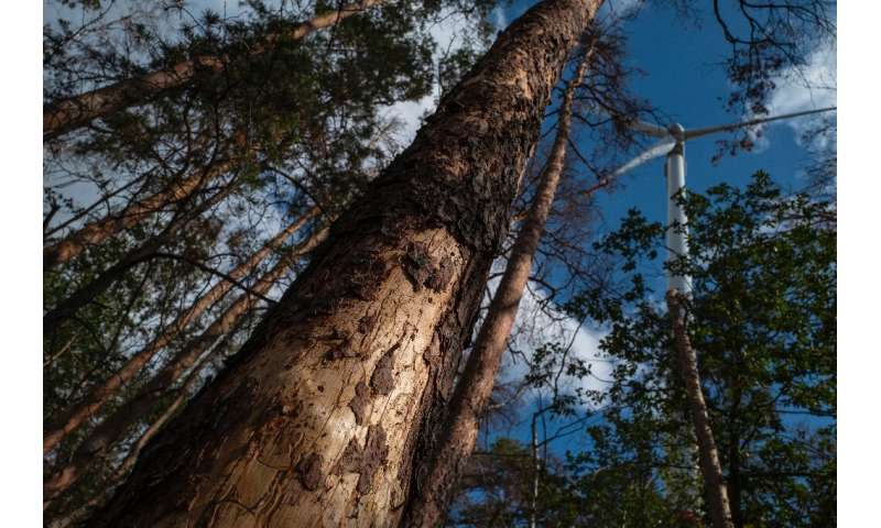 The tiny bark beetle has gone on a rampage as trees in water-starved habitats have lost their natural defences
