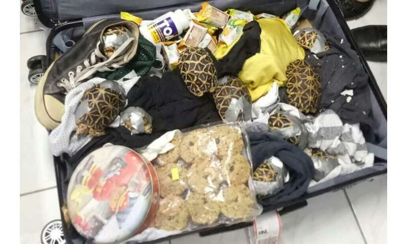 The turtles and tortoises were found at Manila airport on Sunday in the luggage of a Filipino passenger, hidden among clothes an