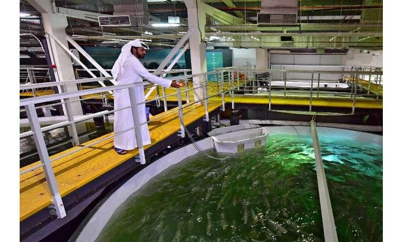 In the deserts of Dubai, salmon farming thrives