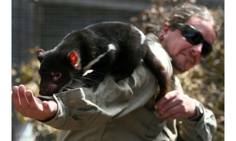 Three decades after the first cases of a fatal transmissible cancer scythed through Tasmanian devil populations, experts are see