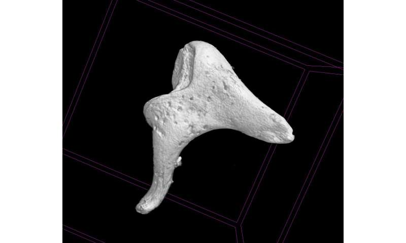 Tiny ear bones help archaeologists piece together the past
