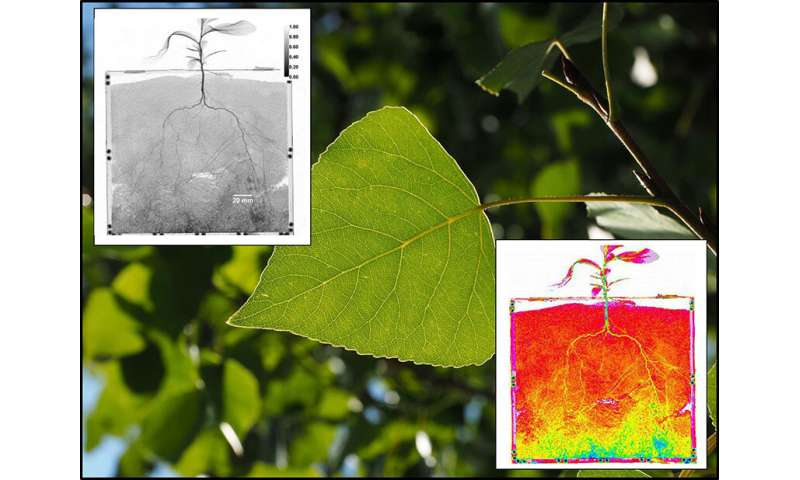 Tiny poplar roots extract more water than their larger counterparts after drought