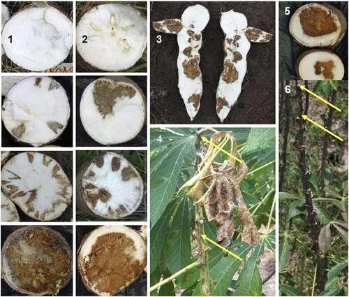 To avoid cassava disease, Tanzanian farmers can plant certain varieties in certain seasons