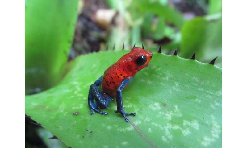 To learn how poison frogs are adapting to warmer temperatures, scientists got crafty