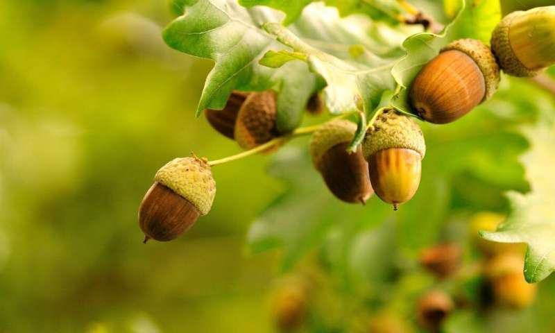 Tons of acorns? It must be a mast year