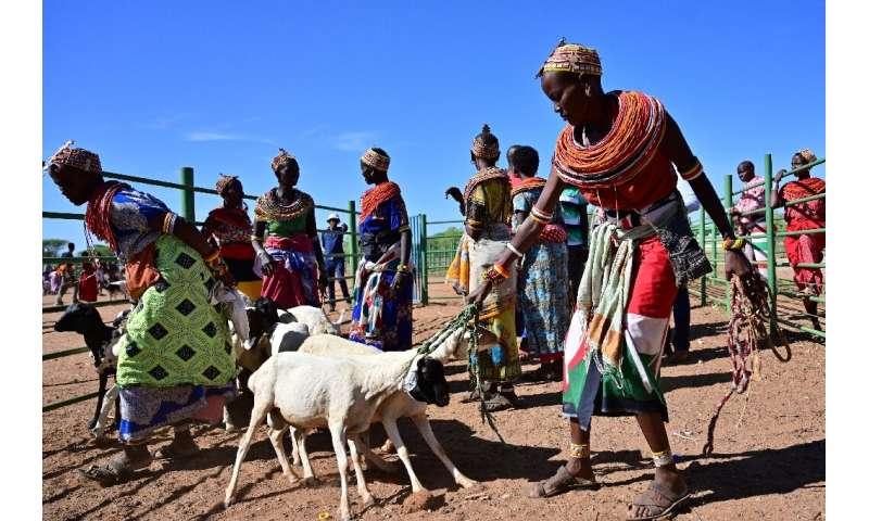 Traditional Samburu tribeswomen gather their goats to sell at Merille livestock market, some 411km north of Nairobi in Kenya's M