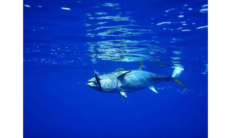 Safeguarding the world's largest tuna fishery