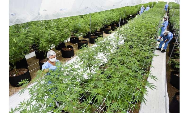 Two firms first to export LatAm medicinal marijuana to Europe