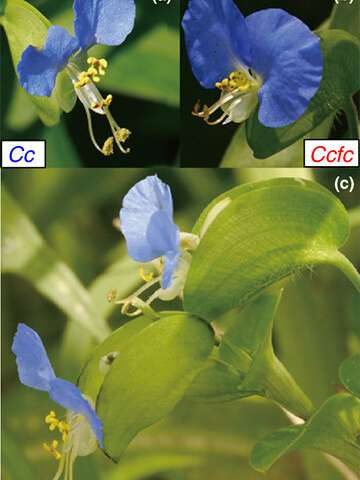 Two flower species show that close relatives can coexist