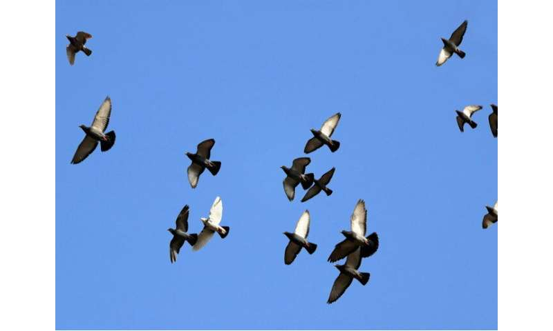 Two heads better than one? Homing pigeons flap faster to fly together