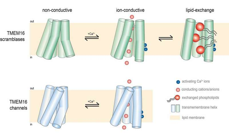 Two papers describe how a membrane protein can move both lipids and ions