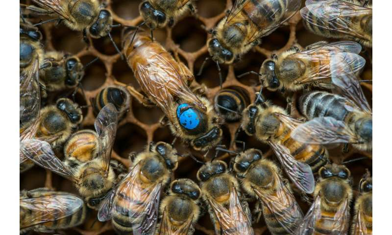 Two-step path to shrinking worker bee gonads