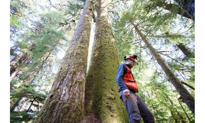 UBC scientists find high mutation rates within huge, old-growth trees