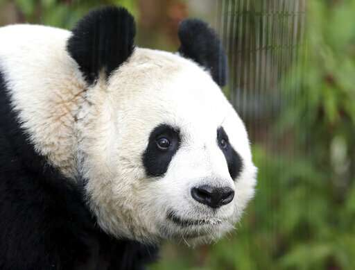 UK's only female giant panda artificially inseminated at zoo