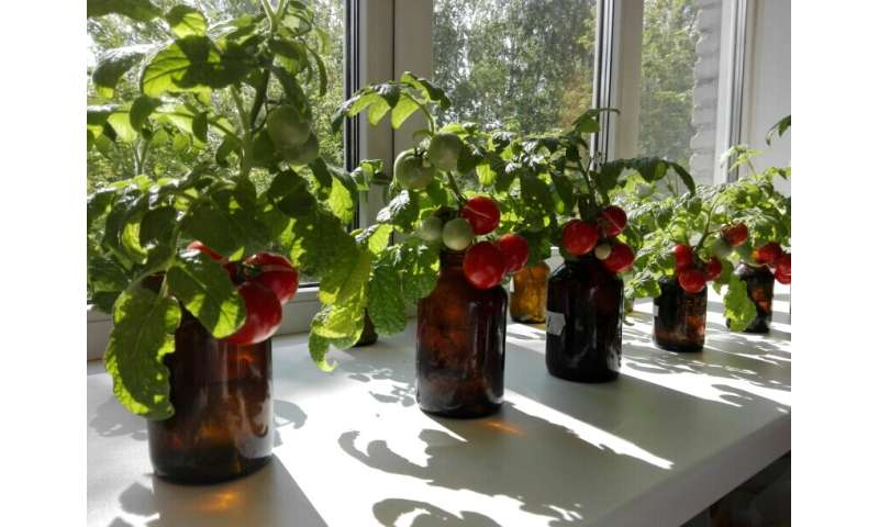 Universal solution will help grow tomatoes in the north and Arctic